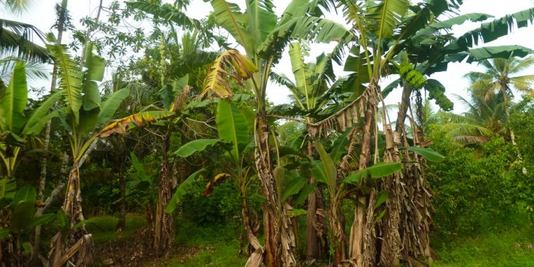 Huge Cheap Cinnamon Plantation in Great Location (5 of 11)