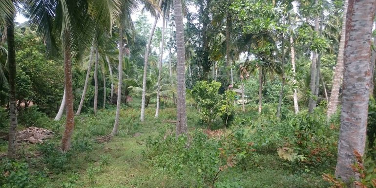 Over an Acre of Mature Coconut Plantation in Perfect Location (1 of 4)