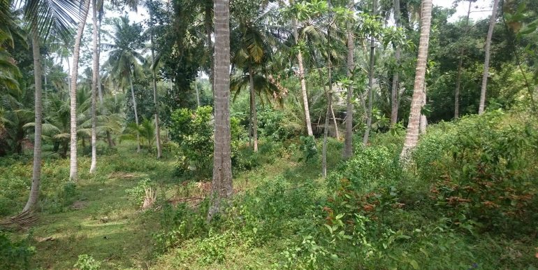 Over an Acre of Mature Coconut Plantation in Perfect Location (2 of 4)