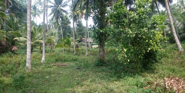 Over an Acre of Mature Coconut Plantation in Perfect Location (3 of 4)