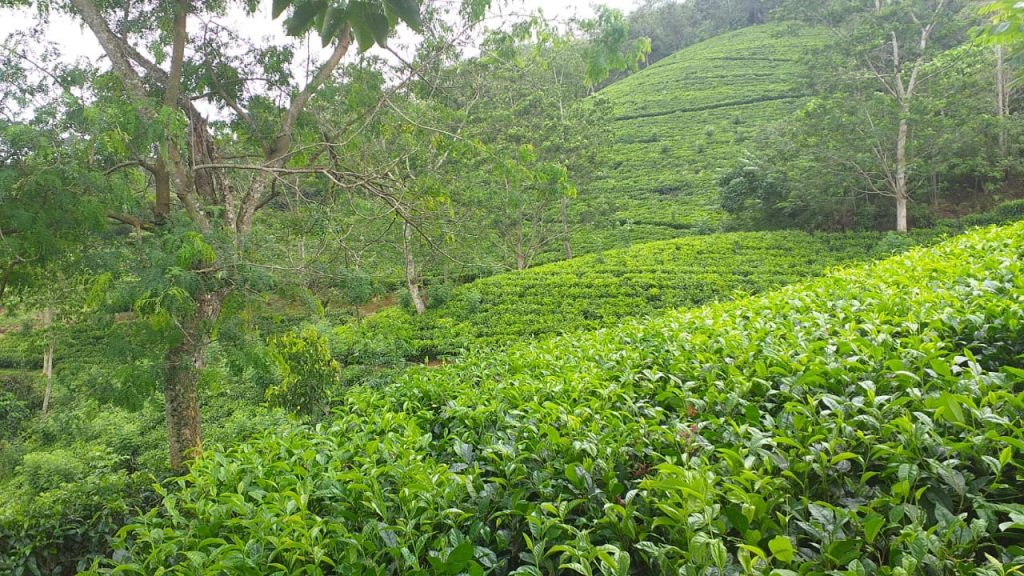 Opportunity to acquire a picturesque tea plantation cheap