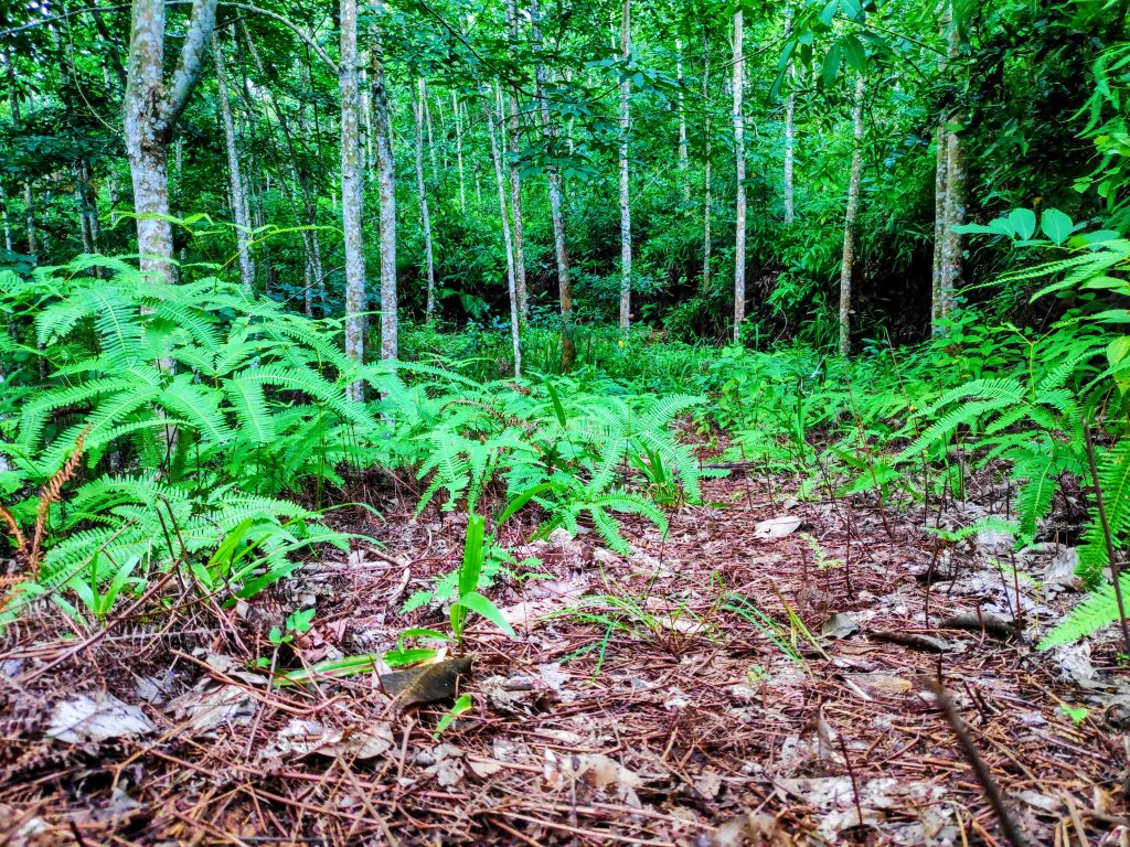 Cheap Rubber Plantation for Resedential and Agricultural Development